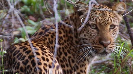 Hvordan finne leopard